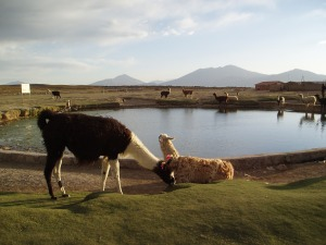 San Juan Rosario- Llamas Around a Pond