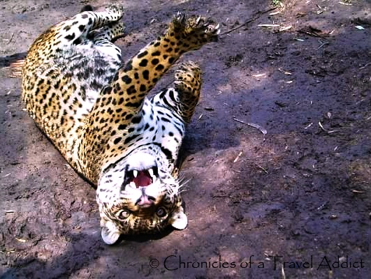 The Sole Ecuadorian Jaguar