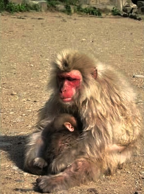 Japanese Macaques: Mother with Baby