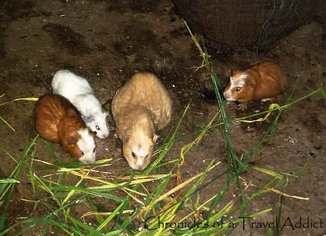 Guinea pigs being raised for consumption in Urubamba, Peru