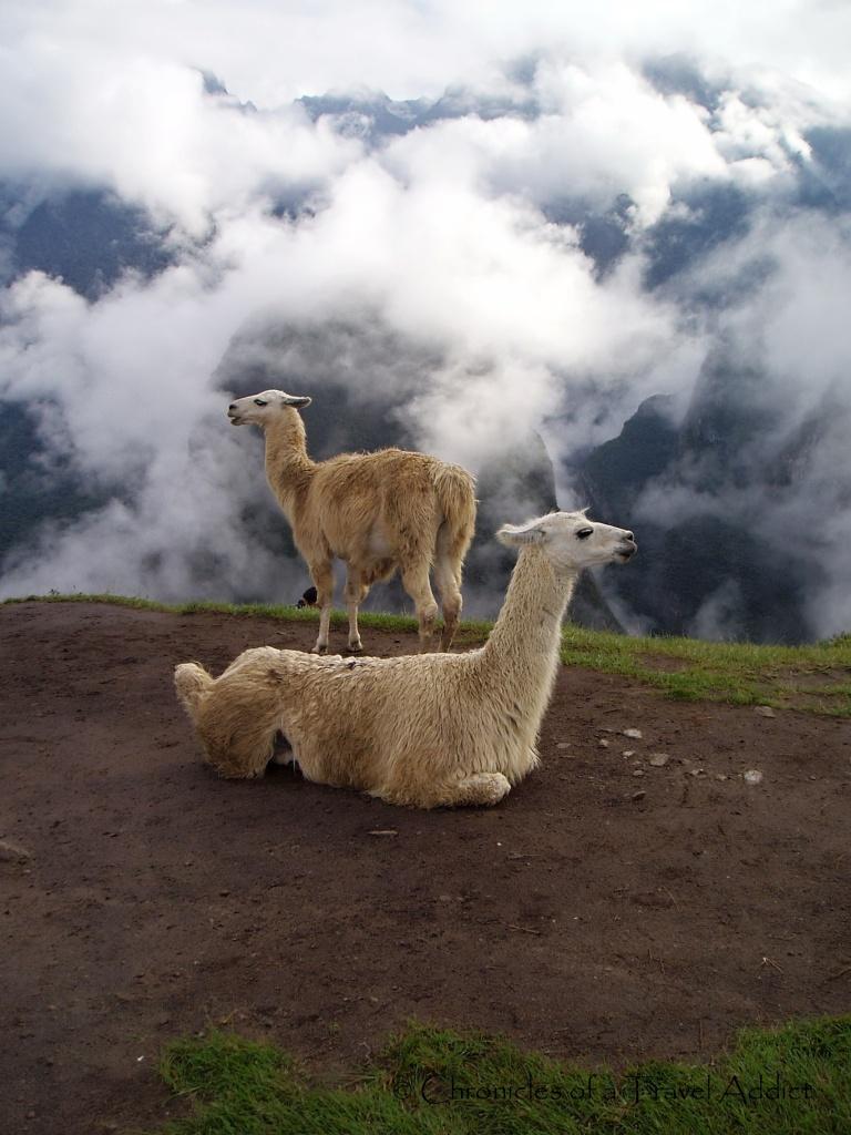 Llamas in the fog, Machu Picchu
