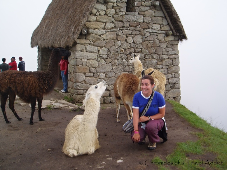 Getting a little too close to the llamas, afraid I was going to be spat on!