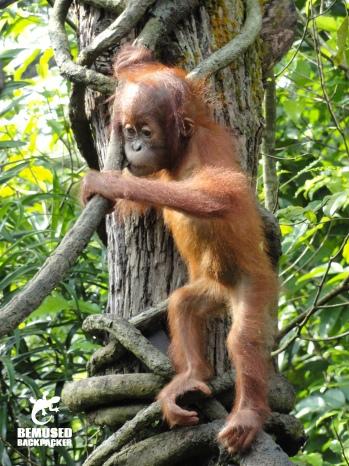 Orangutan Animal Conservation in Borneo, Malaysia