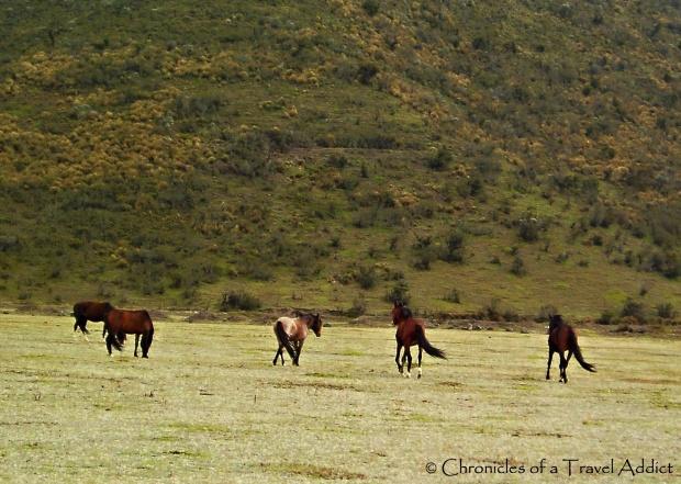 Wild Horses of Cotopaxi, Ecuador