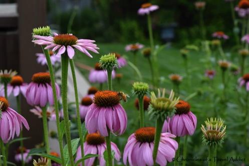 Bees pollinating purple gerbera daisies