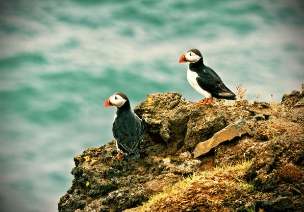 lundi-puffin-macareux-photo (1)_edited