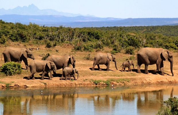 african elephants walking by water