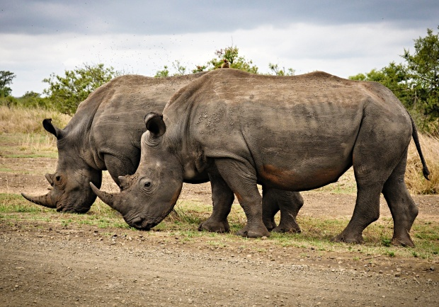 black rhinos in Africa